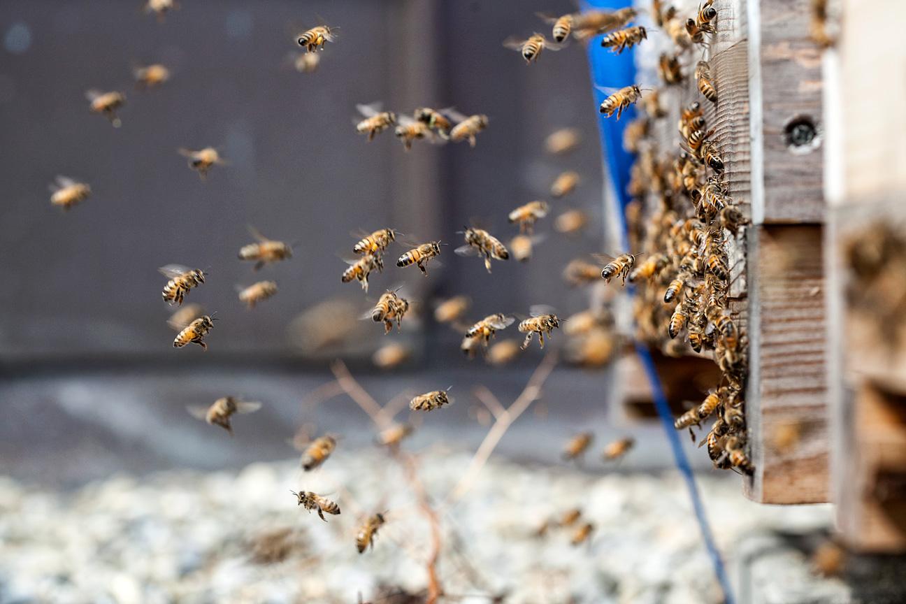 Die Bahnhofstrassen Bienen fühlen sich wohl im neuen Zuhause.